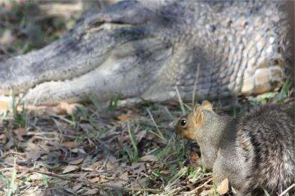squirrel and gator