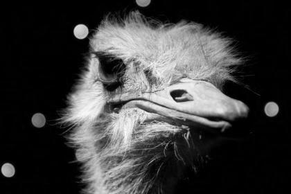 disgruntled ostrich